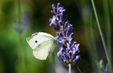 Cabbage White Butterfly on Lavander Blossoms
