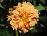Apricot Dahlia