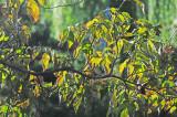 Dogwood Tree Fall Foliage