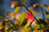 Burning Bush Fall Foliage