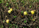 Quince Fruit - French Conservatory Garden