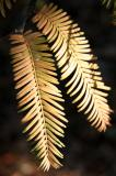 Golden Larch Foliage