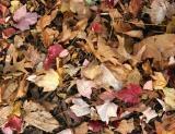 Mostly Maple and Oak Ground Foliage