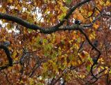 Four Pigeons in an Oak Tree