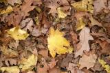 Mostly Maple & Oak Ground Foliage