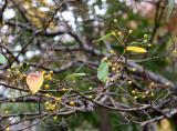 Crab Apple Fruit & Foliage