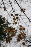 Remaining Maple Foliage