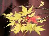 Dwarf Yellow Maple Foliage