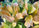 Hosta Foliage