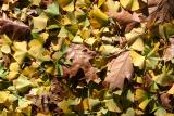 Mostly Ginkgo Leaf Ground Foliage