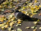 Pigeon & Ginkgo Foliage