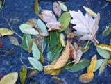 Foliage in an Ice Puddle