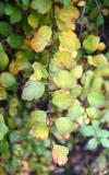 Bridal Veil Foliage