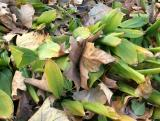 Sycamore Leaves in Bed of Lily of the Valley  Foliage