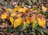 Witch Hazel Foliage