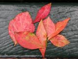 Burning Bush Leaves on Park Bench