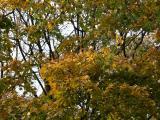 Yellow Maple Foliage