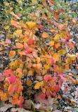 Fothergilla Foliage