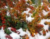Berberis in the First Snow of the Season