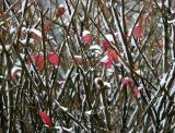 Snow in a Burning Bush