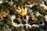 Maple Foliage on the Grass