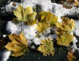 Yellow Maple Foliage & Snow