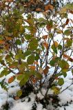Fothergilla major in the Snow