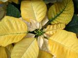 Painted Yellow Poinsettia