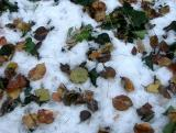 Pear Tree Leaves on a Bed of Snow & Ivy