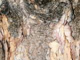 Long Needle Pine Tree Bark