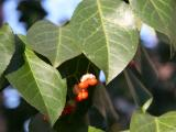 Holly Foliage & Berry Buds