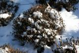 Chrysanthemums in the Snow