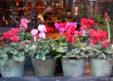 Cyclamen - Smith & Hawken Home & Garden Store