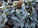 Frost on Lamb's Ears or Stachys