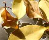 Ficus Foliage