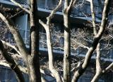Dogwood Tree Branches