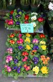 Florist - Primroses