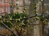 Spring Buds