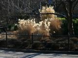 Pampas Grass Garden