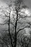 Black Locust Tree Top