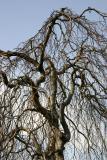 Beech Tree Top - NYU Silver Towers Garden