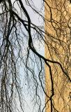 Beech Tree Branches - NYU Silver Towers Garden