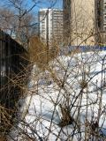 Forsythia Bushes - North View from LaGuardia Place