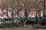 Budding Dogwood Cornus Cornelian Tree