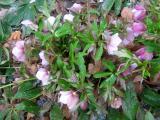 Helleborus or Lenten Rose