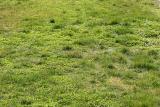 March Grass & Clover - NYU Silver Towers Garden