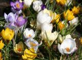 Crocuses - Flower Market