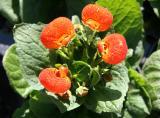 Calceolaria or Pocket/Slipper Flower - Flower Market