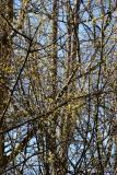 Cornas mas Dogwood Blossoms