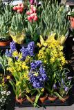 Tulips, Daffodils & Hyacinth for Sale